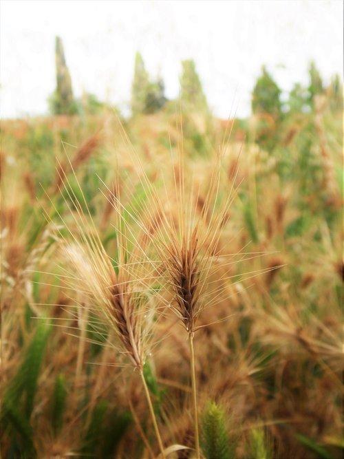 grain  wheat  close up