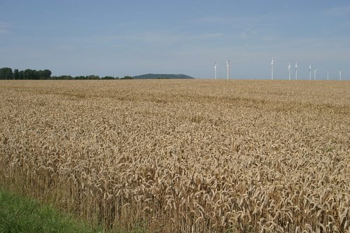 grain  field  cereals