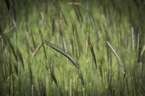 grain wheat field