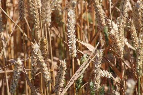 grain bauer cereals