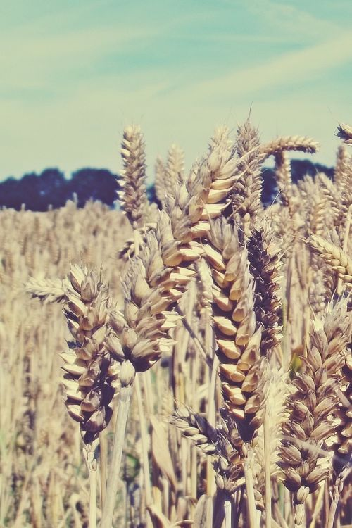 grain cornfield field