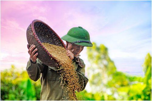 grain drying d rice farmer