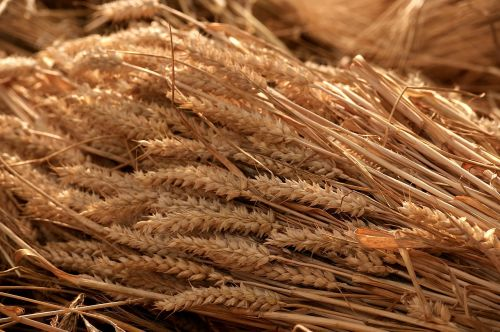 grain harvest summer tufts