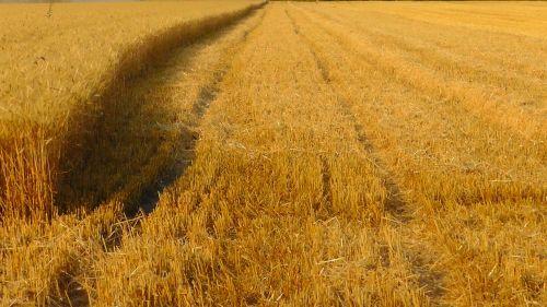 grain harvest cornfield grain field