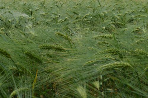 grain wheat pasture country