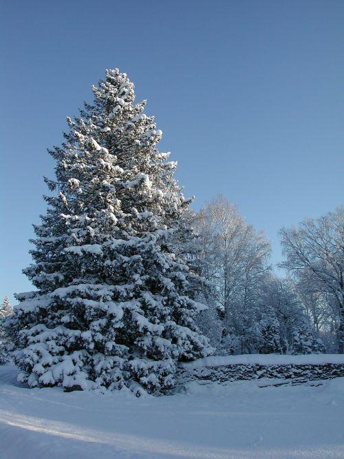 gran spruce snowy spruce