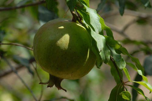 granada fruit flora