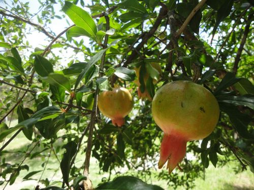granada fruit food