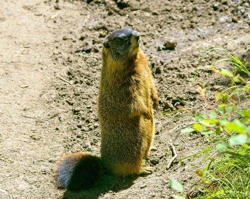 grand teton rock chuck  yellow-bellied marmot  animal