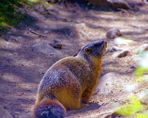 grand teton yellow-bellied marmot  rock chuck  animal
