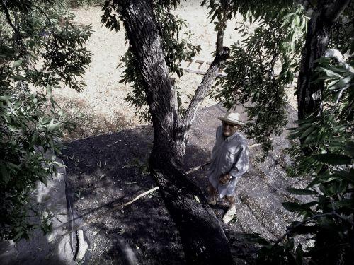 grandfather tree mallorca