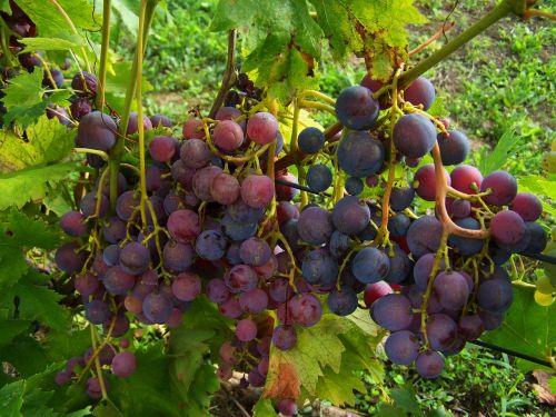 grape bluish-purple berry crop