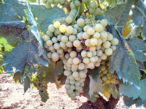 grape white vineyard