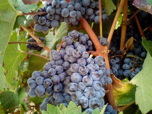 grape black red