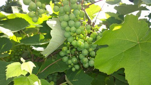 grape green frisch