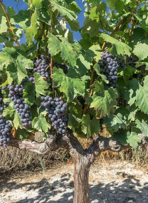 grapes vine parra
