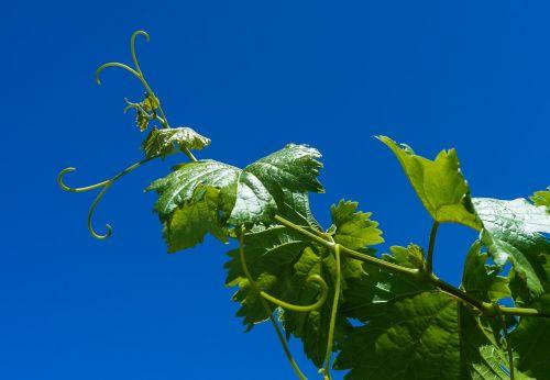 grape vine parra