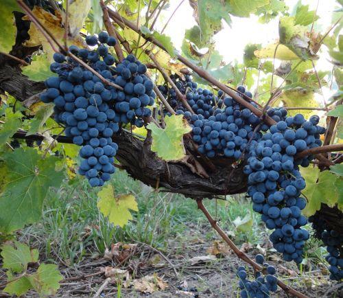 grape grapes vine