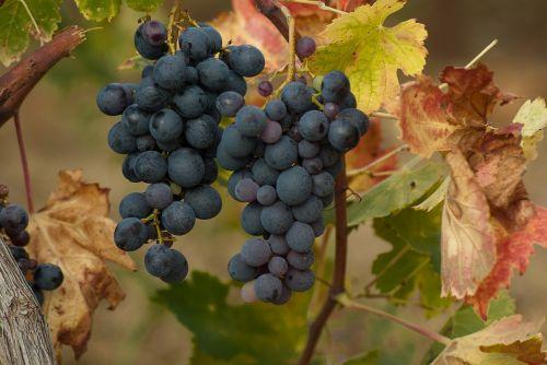 grape cluster harvest