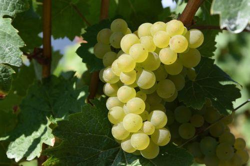 grape winegrowing white wine