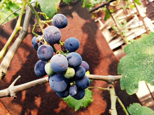 raisin fruit samsung