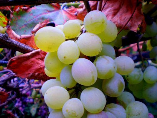 grape wine drink