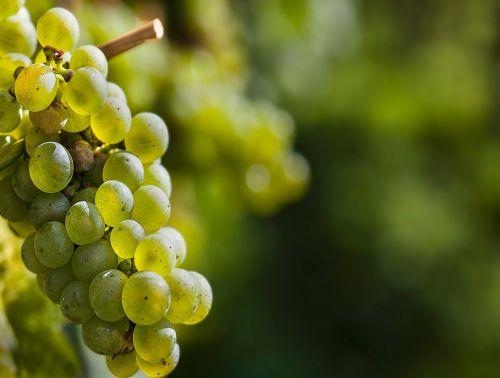 grape wine grapes