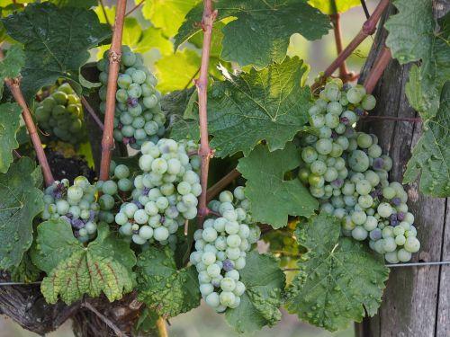 grape wine bio