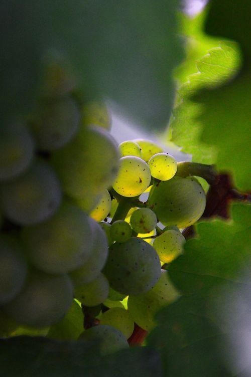 grape green grapes autumn fruit