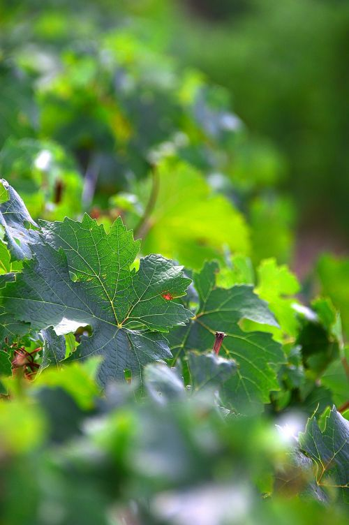 grape grape leaf green