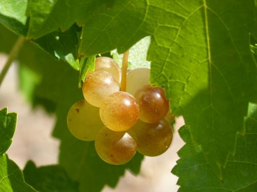 grape mature seasoning
