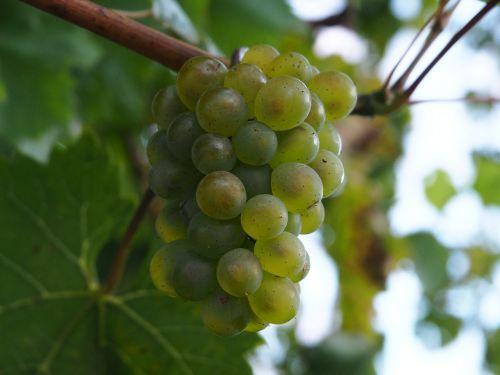 grape fruit bio