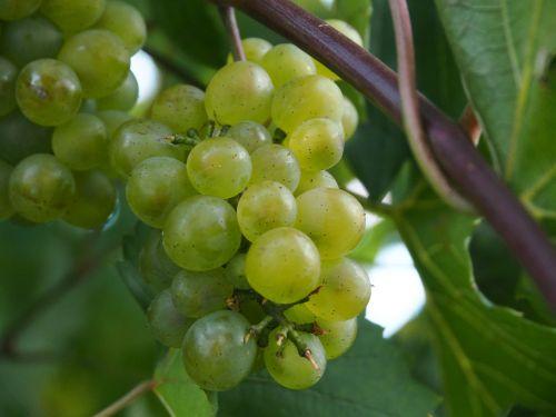 grape wine fruit
