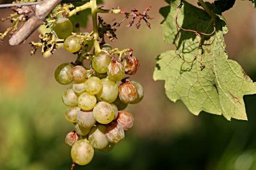 grape vine wine