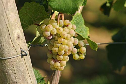 grape wine rebstock