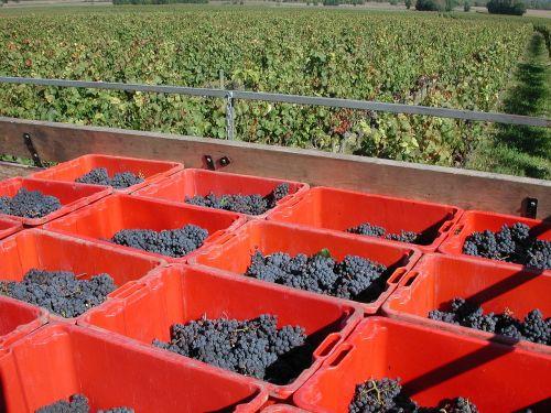 grape harvest trailer