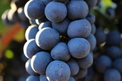 grape vintage fall