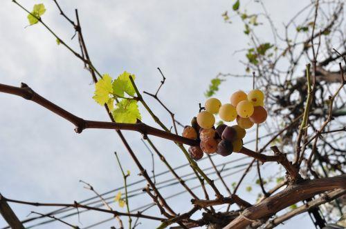 grape fruit plant