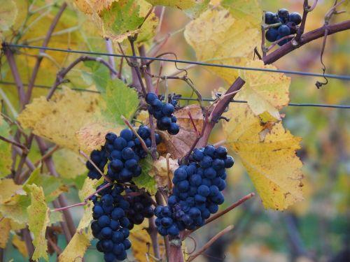 grape blue grapevine