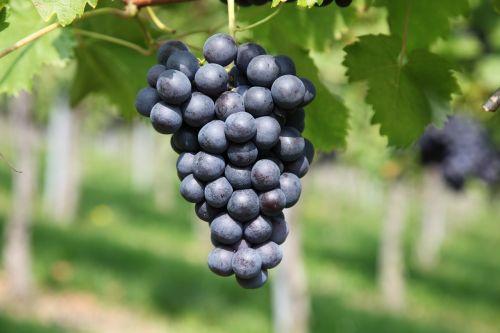 grape vineyard winegrowing
