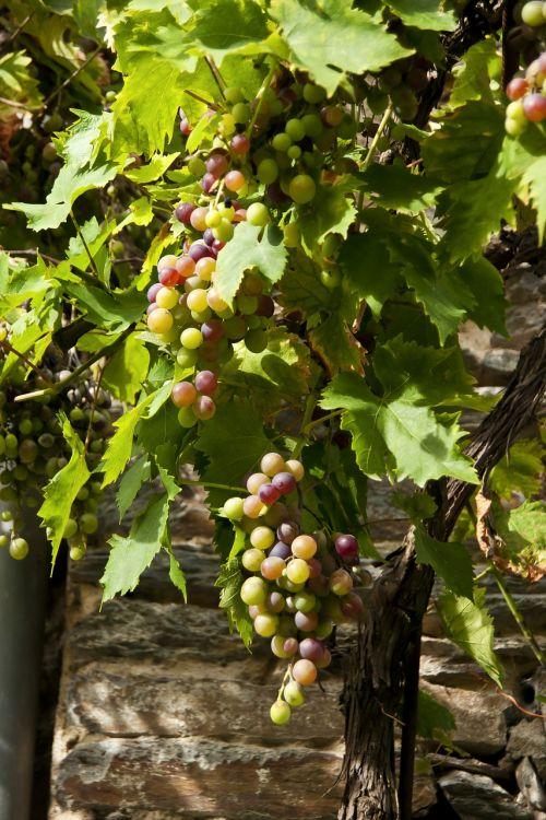 grape cluster vine