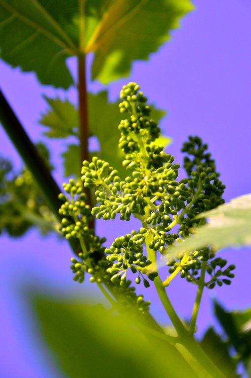 grape  immature grapes  grape flower
