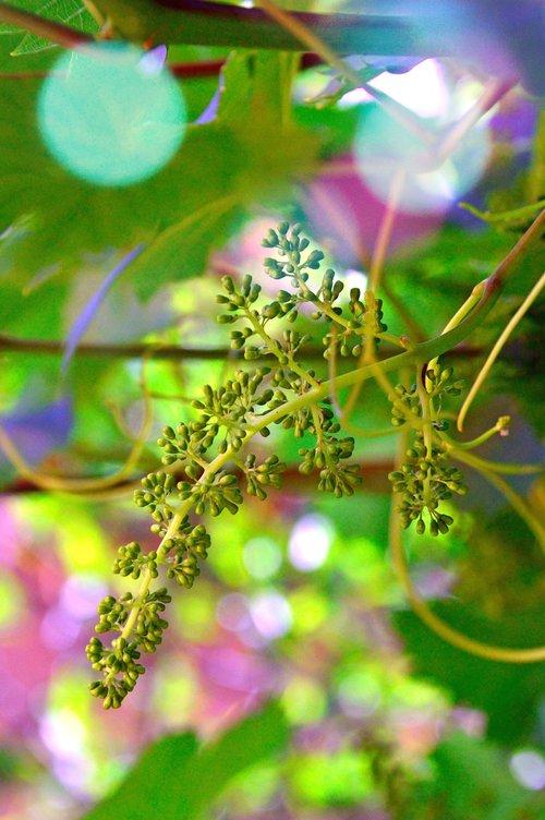 grape  grape flower  immature grapes