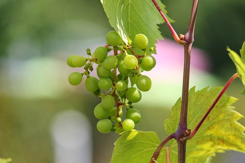 grape  young  green