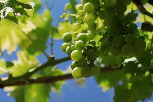 grape  grapes  tros
