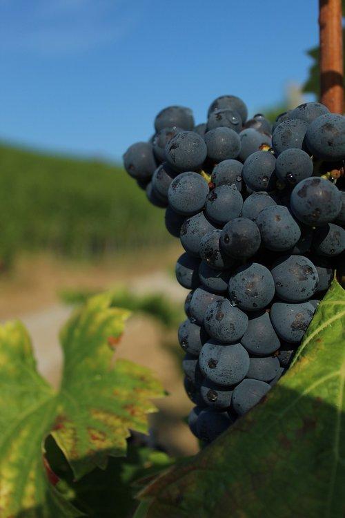 grape  close up  wine