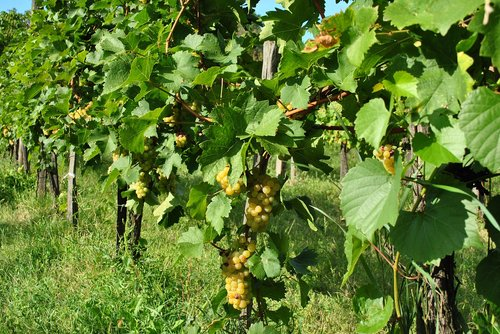 grape  grape harvest  vintage