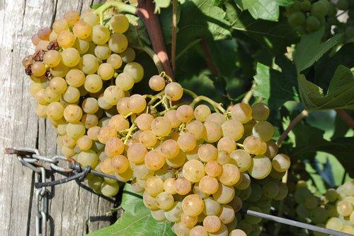 grape  maturation  vintage