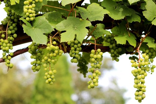 grape  vitis vinifera  climber