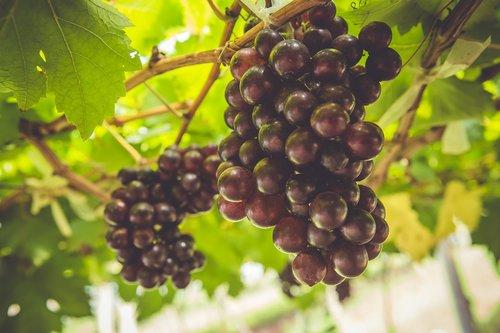 grape  fruit  grapes